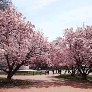 Cherry Blossoms by Tina dela Rosa