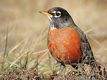 American Robin from wikipedia