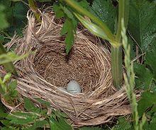 220px-RedWingedBlackBird_nest